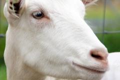 Paardendagen Walterswald Boerendag geitenkeuring (9)