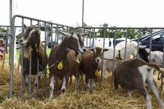 Paardendagen Walterswald Boerendag geitenkeuring (5)