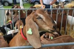 Paardendagen Walterswald Boerendag geitenkeuring (8)